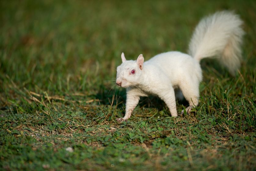 albino squirrel.jpg.838x0_q80.jpg
