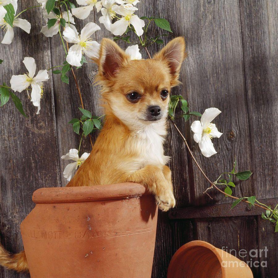 chihuahua-dog-in-flowerpot-john-daniels.jpg