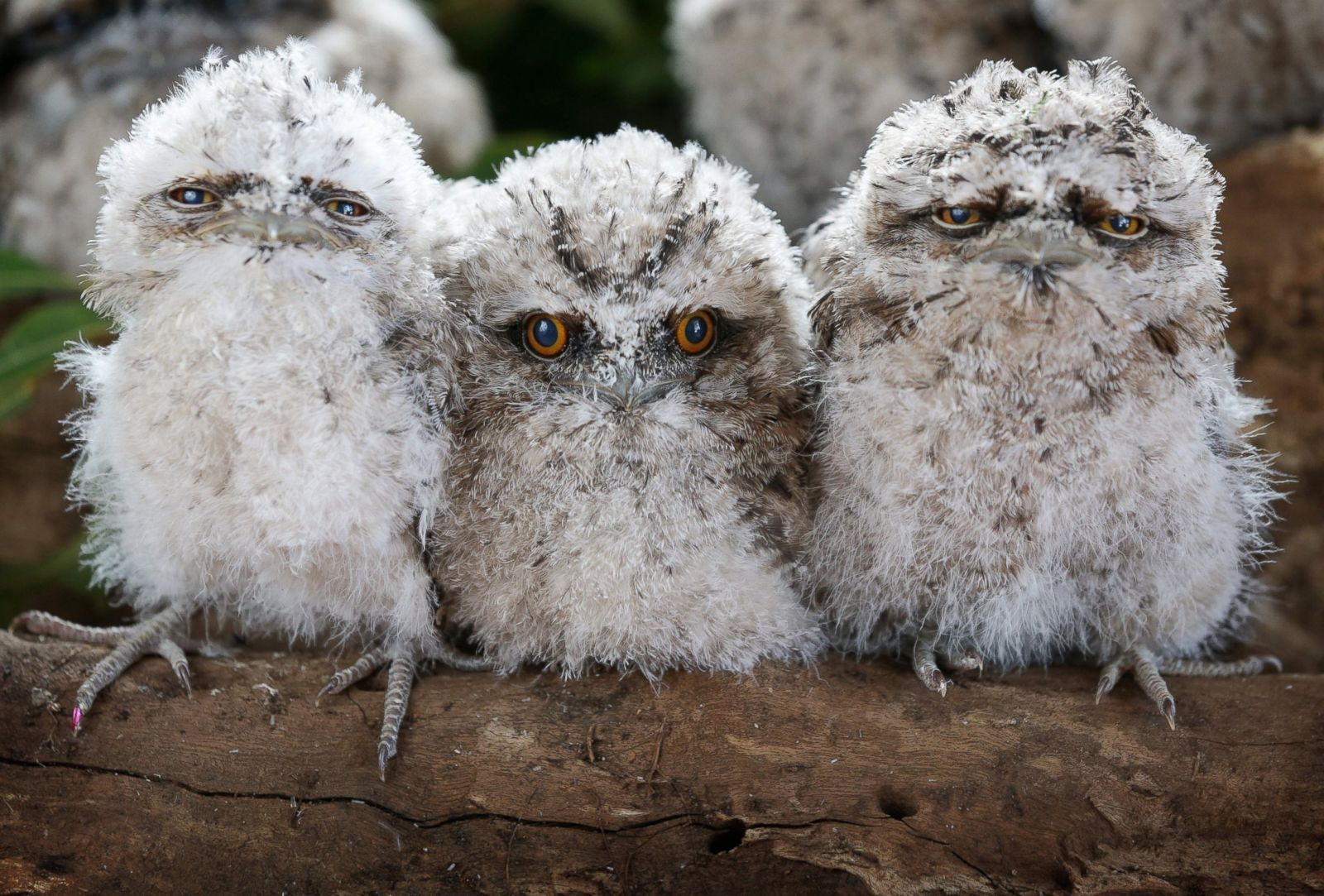 frogmouth babes.jpg