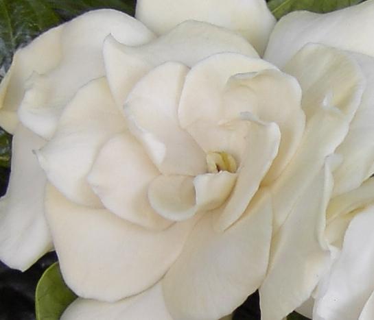 Helleborus-Gardenia-007 2.jpg