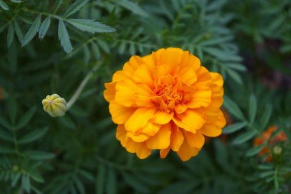 Marigold.jpg