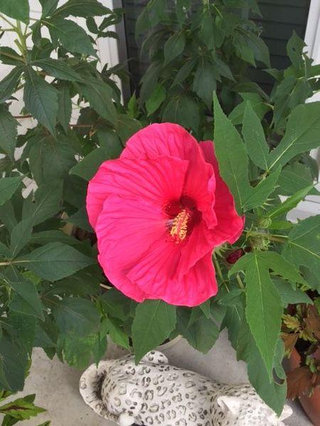Hibiscus (2).jpg