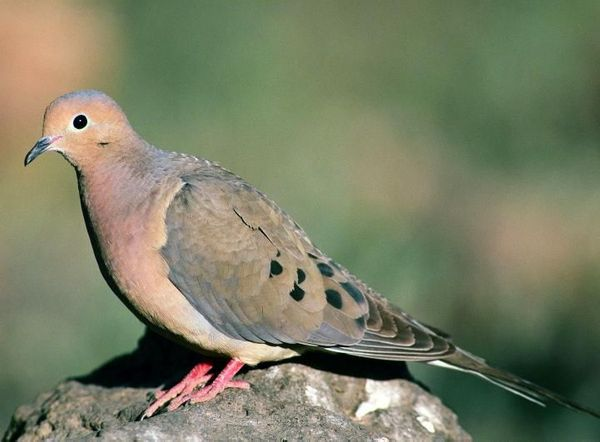bird_sounds_and_songs2-mourning_dove-us_fish_and_wildlife_wikimedia_commons.jpg