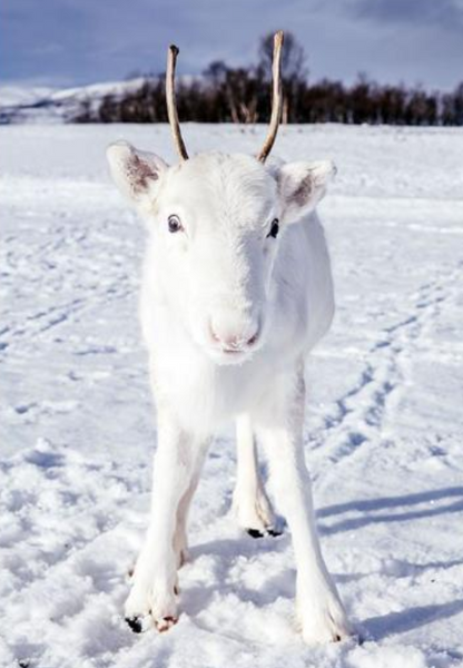 Rare White Reindeer.PNG