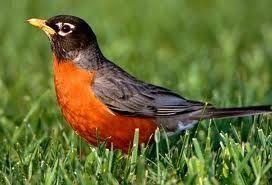 robin-in-grass.jpg