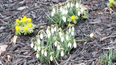 Snowdrops and Aconites.jpg