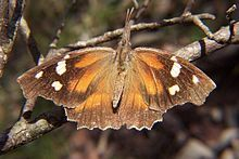 220px-American_snout_butterfly.jpg