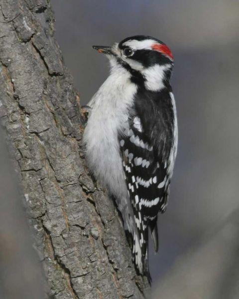 Downy_Woodpecker_b52-1-171_l_1.jpg