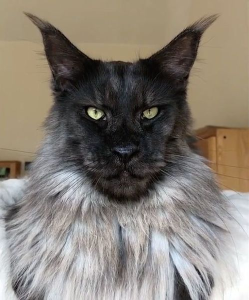 crazy-maine-coon-cat.jpg