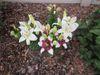 Asiatic Lilies 'Tiny Nanny' & 'Tiny Padhye'.JPG