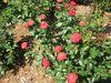 'Mandarin Ice' rose.JPG
