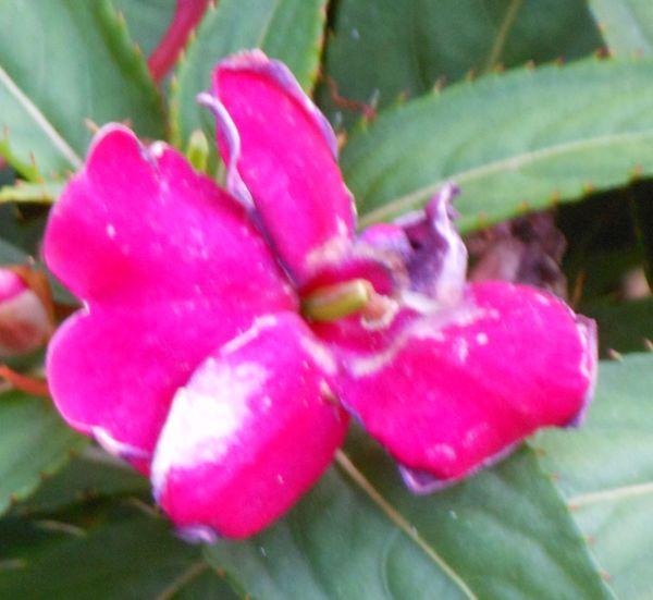 flowermagenta2.jpg