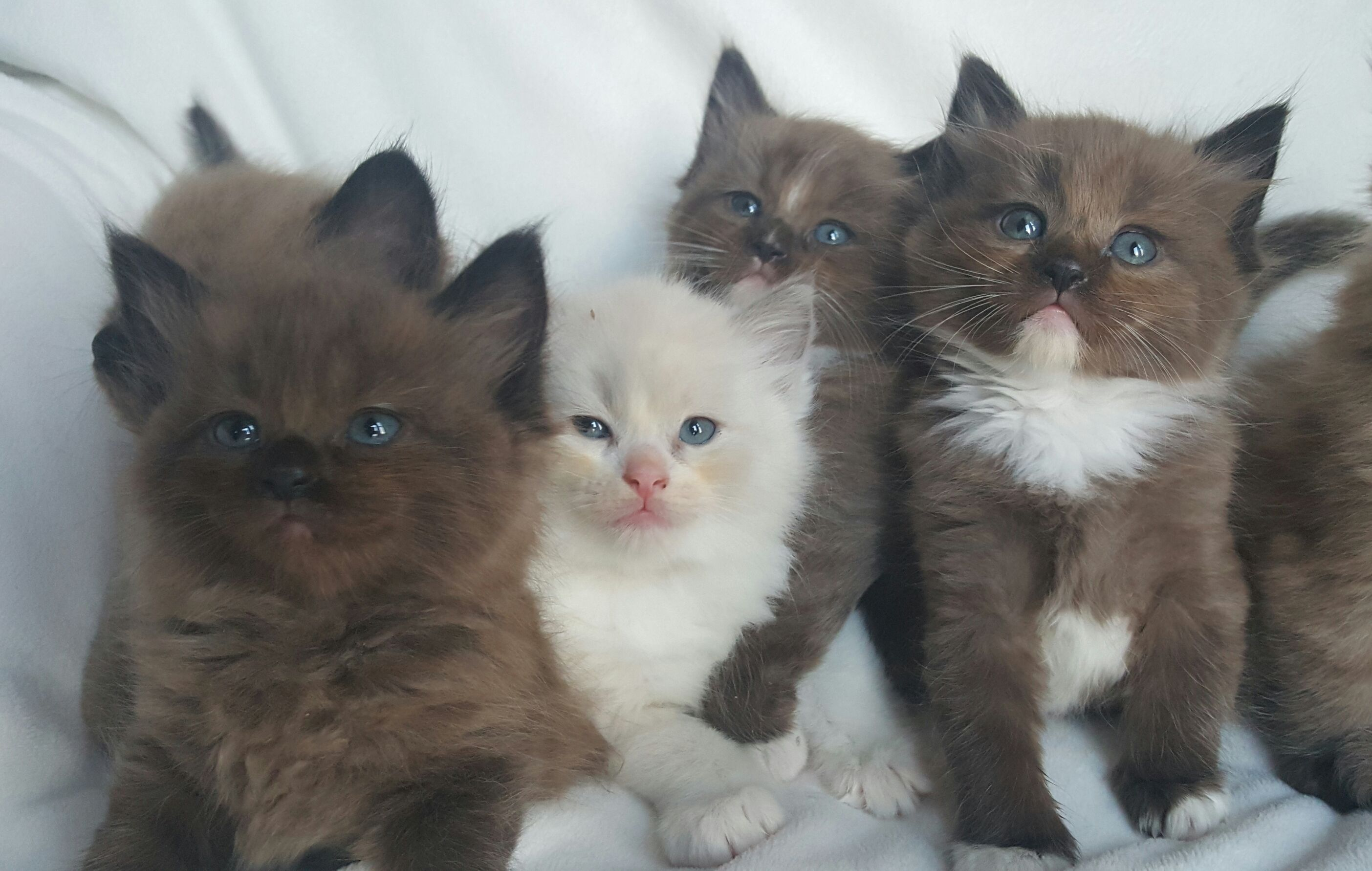Re Any Ragdoll Cat lovers Page 2 Blogs & Forums