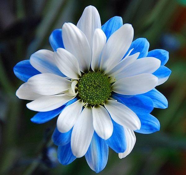 blue and white daisy.jpg